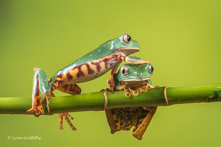 Coming through - Super Tiger Legged Waxy Monkey Leaf Frog D50_8103.jpg
