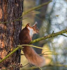 0091 (163) - Red Squirrel (Zana Benson) Tags: redsquirrel scotland