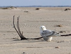 first of four Snowy Owls, Nauset 12/3/17 (petertrull) Tags: elements