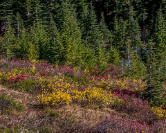 Mt. Rainier meadow (wplynn) Tags: mtrainiernationalpark mountrainiernationalpark mtrainier mountrainier mt mount mountain rainier volcano volcanic washington state cascade cascaderange autumn color