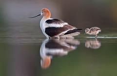 Avocet and chick (knobby6) Tags: avocet chicks shorebird california nikon