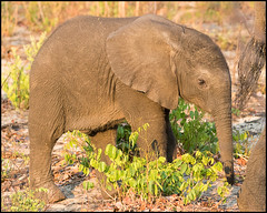 African Bush Elephant Baby (John R Chandler) Tags: africanbushelephant africanelephant animal calf elephant loxodontaafricana mammal matabelelandnorthprovince zambezinationalpark zimbabwe zw