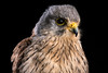 Kestrel (Explored) (hehaden) Tags: bird birdofprey kestrel commonkestrel europeankestrel eurasiankestrel falcotinnunculus face profile studio captive captivelight bournemouth
