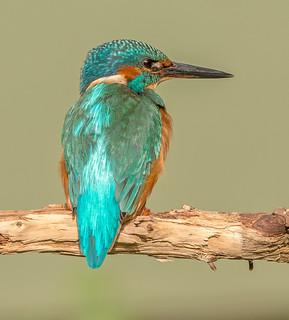 DSC6479  Kingfisher..