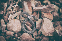Rencontre, lac Salagou, Herault (Weblody) Tags: serpent lac salagou fer mue petit macro couleuvre vipérine