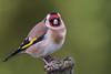 "Chardonneret élégant / European goldfinch ""explored"" (fred.lecieux) Tags: chardonneret explore explored oiseau bird closeup garden europeangoldfinch nature nikon d810 40028 afs400f28vr tc14eiii colored"