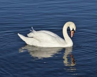Swan Reflection #2