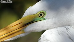 Eye candy (Shannon Rose O'Shea) Tags: shannonroseoshea shannonosheawildlifephotography shannonoshea shannon greategret egret bird beak yelloweye lores green white feathers profile nature wildlife waterfowl wwwflickrcomphotosshannonroseoshea flickr alligatorbreedingmarshandwadingbirdrookery gatorland orlando florida outdoors outdoor shadows art photo photography camera wild wildlifephotography fauna ardeaalba closeup close macro canon canoneos80d canon80d eos80d 80d canon100400mm14556lisiiusm rookery gatorlandbirdrookery free