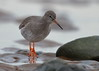 Redshank (Martial2010) Tags: redshank monifieth angus scotland canon