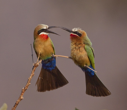 White -throated  Bee-eaters two greeting