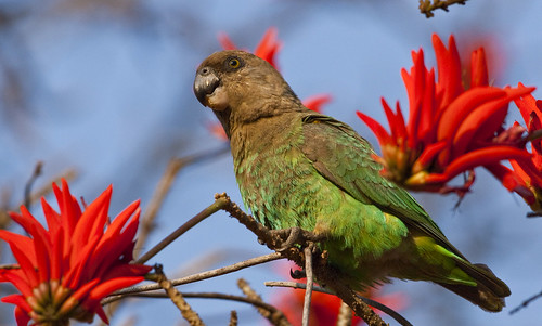 Brown -headed  Parrot in Coral tree, 9990,