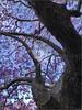 """""""Jacaranda"""" Kirribilli, Sydney, Australia (November 2017) (Kommie) Tags: apple iphone x sydney kirribilli australia jacaranda purple flowers spring"""