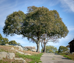 Marblehead (roncohencom) Tags: seaport newengland massachusetts marblehead tree ma coastal usa landscape park crockerpark