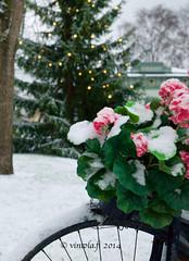 vintola photography (vintola) Tags: itsenäisyydenpuisto joulu kukka leicas naantali polkupyörä talvi nådendal finland finnland vintola flower blume blomma winter vinter christmas julen weihnachten snow schnee snö