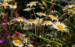 June in the Gardem (Mark Wordy) Tags: mygarden june summer flowers oxeyedaisies
