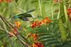 Green-Throated Carib (ronmcmanus1) Tags: antigua bird caribbean nature outdoors wildlife jollyharbour stmarysparish antiguabarbuda