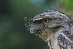 Tawny Frogmouth Portrait (Finch_natalia.jw) Tags: portrait bird tawnyfrogmouth frogmouth nightbird greenbackground
