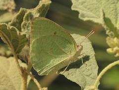 African Emigrant (Catopsilia florella) (Rezamink) Tags: africanemigrant catopsiliaflorella butterflies uae