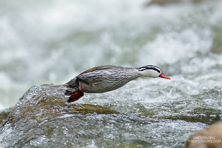 Torrent Duck (Merganetta armata)