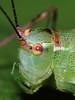 La Leptophye ponctuée ou sauterelle ponctuée ou Barbitiste très ponctué (Leptophyses punctatissima) - Femelle (Didier Auberget Photographie) Tags: macro insecta insecte orthoptera orthoptère neoptera néoptère tettigoniidae tettigonioidea sauterelle grasshopper pterygota ensifera gryllidea phaneropterinae barbitistini leptophyes leptophyeponctuée sauterelleponctuée leptophysespunctatissimaspeckled speckledbushcricket barbitistetrèsponctué
