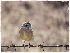 TARABILLA (BLAMANTI) Tags: tarabilla aves avesdeespaña canon canonpowershotsx60 naturaleza jerezdelafrontera jerez