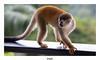 Singe écureuil ou Saïmiri Oerstedii (gilbert.calatayud) Tags: singe écureuil saïmiri oerstedii manuel antonio costa rica amérique centrale mammifère cébidés