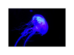 Jellyfish (BlueisCoool) Tags: flickr foto photo image capture picture photography nikon coolpix l330 jellyfish jellies blue glowing color colorful bright vivid pretty beautiful florida sealife marineanimal glowinthedark thefloridaaquarium tampaflorida