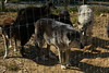 IMG_1243 (goaniwhere) Tags: wolf animal wolves wildanimal sanctuary