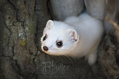 Ermine 1 (J.Hunter Photography) Tags: ermine weasel nature naturephotography wildlife wildlifephotography cute bigeyes white alaska