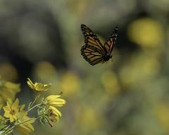 MonarchButterfly_SAF2111 (sara97) Tags: danaus plexippus butterfly endangered insect missouri monarch monarchbutterfly photobysaraannefinke pollinator saintlouis flight inflight danausplexippus copyright©2017saraannefinke