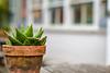 Prickly customer (judi may) Tags: windowwednesday windows window cactus flowerpot plant table outside depthoffield dof bokeh canon7d texture textures