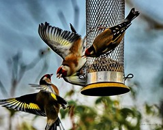 My Turn Now (Janet - West Sussex) Tags: goldfinch birds