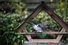 jay in the garden........ (atsjebosma) Tags: garden tuin autumn herfst gay vlaamsegaai vogel atsjebosma groningen thenetherlands november 2017 seeds zaden present nederland