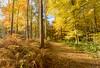 Autumn at Beacon Hill (John__Hull) Tags: autumn trees golden beacon hill charnwood leicestershire woodhouse eaves england uk nikon d3200 sigma 1020mm gobe polariser landscape ferns bracken birch silver breath taking landscapes