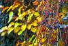 Berries and leaves (Matjaž Skrinar) Tags: 1025fav 100v10f 250v10f 500v20f