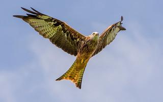 DSC6162  Red Kite..