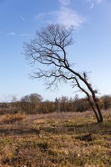 Scheef (doevos) Tags: bomen bos ugchelsebos veluwe woud