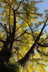 Ginkyo Tree (M. Mikamo) Tags: ginkyo autumn autumncolor tree outdoor sky yellow leaves kagoshima kagoshimauniversity