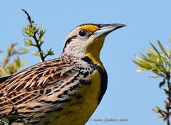 Eastern Meadowlark (c) 2016 Susan Faulkner Davis all rights reserved.