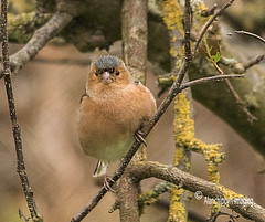 Chaffinch (Alanchippyh) Tags: bird tree black reddish yellowishgreen brown outdoor wood forest
