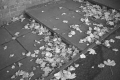 The Fall of Autumn (the underlord) Tags: ormskirk nikon nikonrangefinder nikons2 wnikkor35mmf35 35mm parkroad fujineopanacros acros100 blackandwhite film kodakd76 7minutes15secondsatstock 35mmfilm rangefindercamera fall autumn leaves sycamore