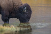 Bull bison takes a drink, Madison River, Yellowstone National Park (September 2017). (christineb.photos) Tags: bison yellowstone national park forever canon wyoming wildlife yellowstonenationalpark yellowstoneforever yellowstonepledge nationalparkwildlife buffalo wyomingwildlife