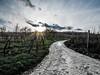 L1040064 (Ledesastre) Tags: alsace est photographie photographe leica dlux109 vignes nature countryside campagne sun lumière