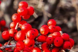 Autumn Berries: Luminar2018
