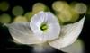 Snow white (K&S-Fotografie) Tags: leaves bokeh indoor flower tender white green reflection macro closeup makro blume