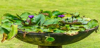 Water Lilys - 2016, September 22 - Penang
