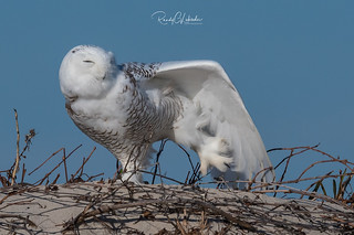 Snowy Owls of New Jersey | 2017 - 3 [EXPLORED]