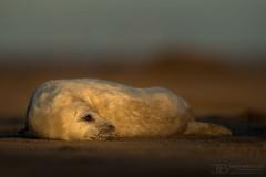 Seal2-16.11.17_54I6386 (Jayne Bond) Tags: seal light sunset