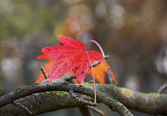 Red and Orange ... (MargoLuc) Tags: leaves red orange autumn colours branch tree bokeh fall outdoor