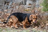 Sneaksy (aaron-and-alicia) Tags: dog pet grass autumn animal beagle tongue cute fur silly funny sneaky